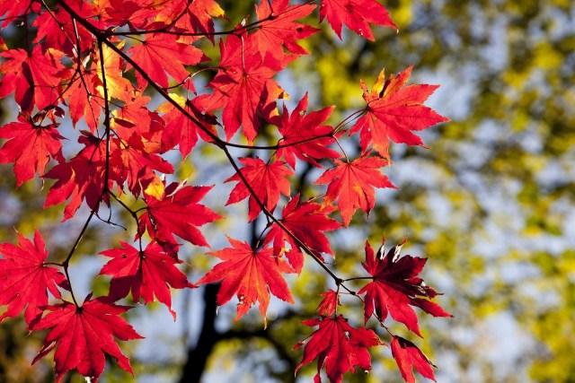 Érable du japon pour un jardin japonais ?