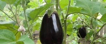 l'aubergine au potager