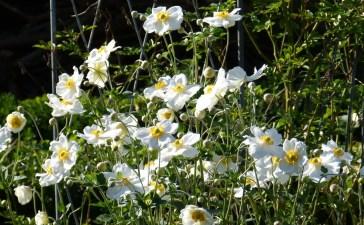 https://mon-inspiration-jardin.fr/wp-content/uploads/2021/03/Anemone-du-japon-fleur-blanche.jpg