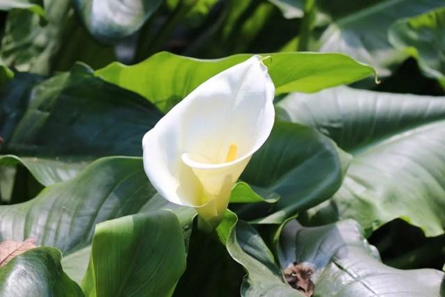 Calla fleur blanche