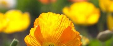 coquelicot jaune du jardin