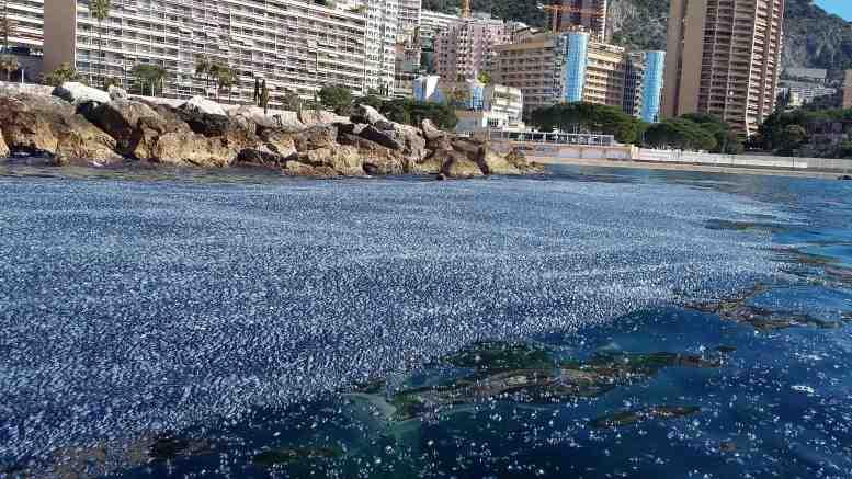 Le meduse Velella velella chiamate anche barchette di San Giovanni invadono la baia di Monaco