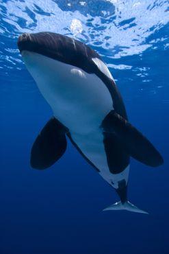 Orca / Killer whale (Orcinus Orca) @BLUE photo archives