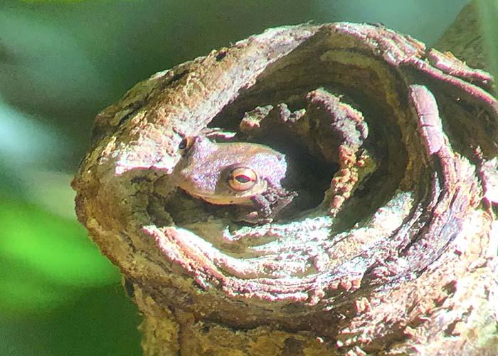 manuel antonio frog.jpg