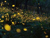 ninohe-fireflies_93480_990x742