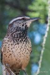 Hope is the thing with feathers -- a Cactus Wren perched on Saguaro Cactus