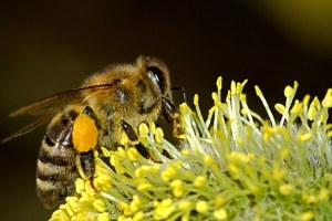 honeybee-photo-gathering-pollen-on-a-flower