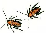 drawing-of-2-cockroaches-from-Mona-Kerby-book