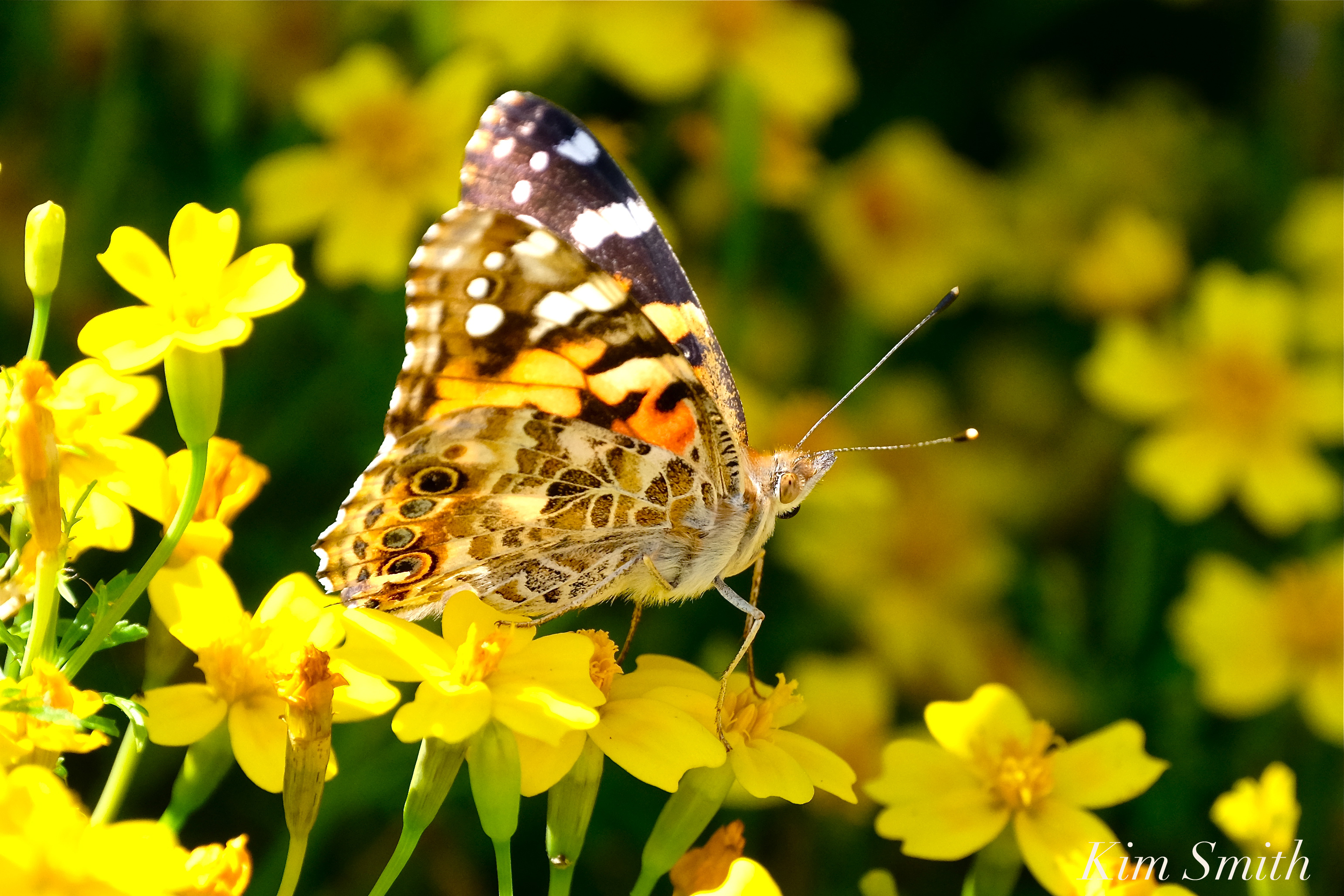 Painted Lady Butterfly Mexican Marigolds Tagete 2