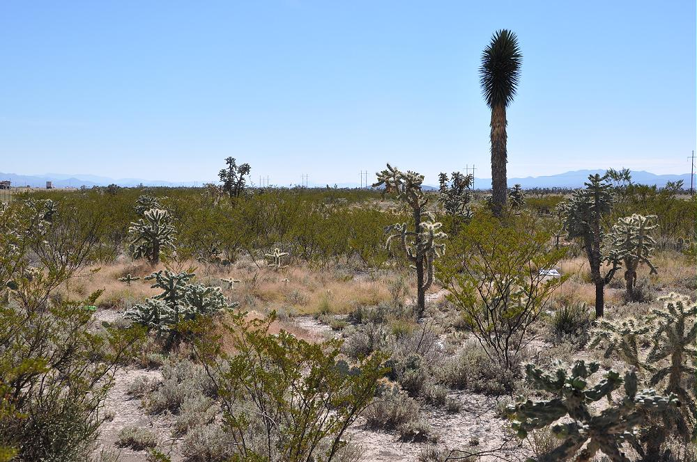 Chihuahua Desert Vegetation photo by Carol Cullar