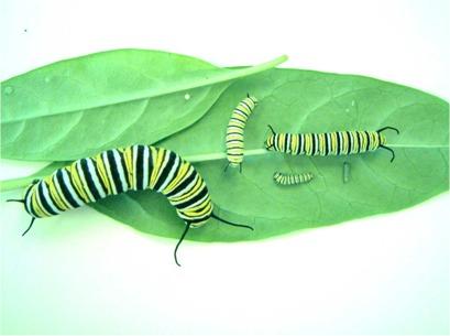https://i2.wp.com/monarchconservation.org/wp-content/uploads/2015/02/larva.jpg