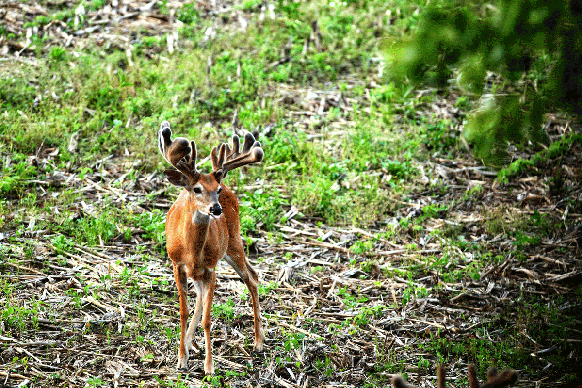 A young buck with tons of velvet tines