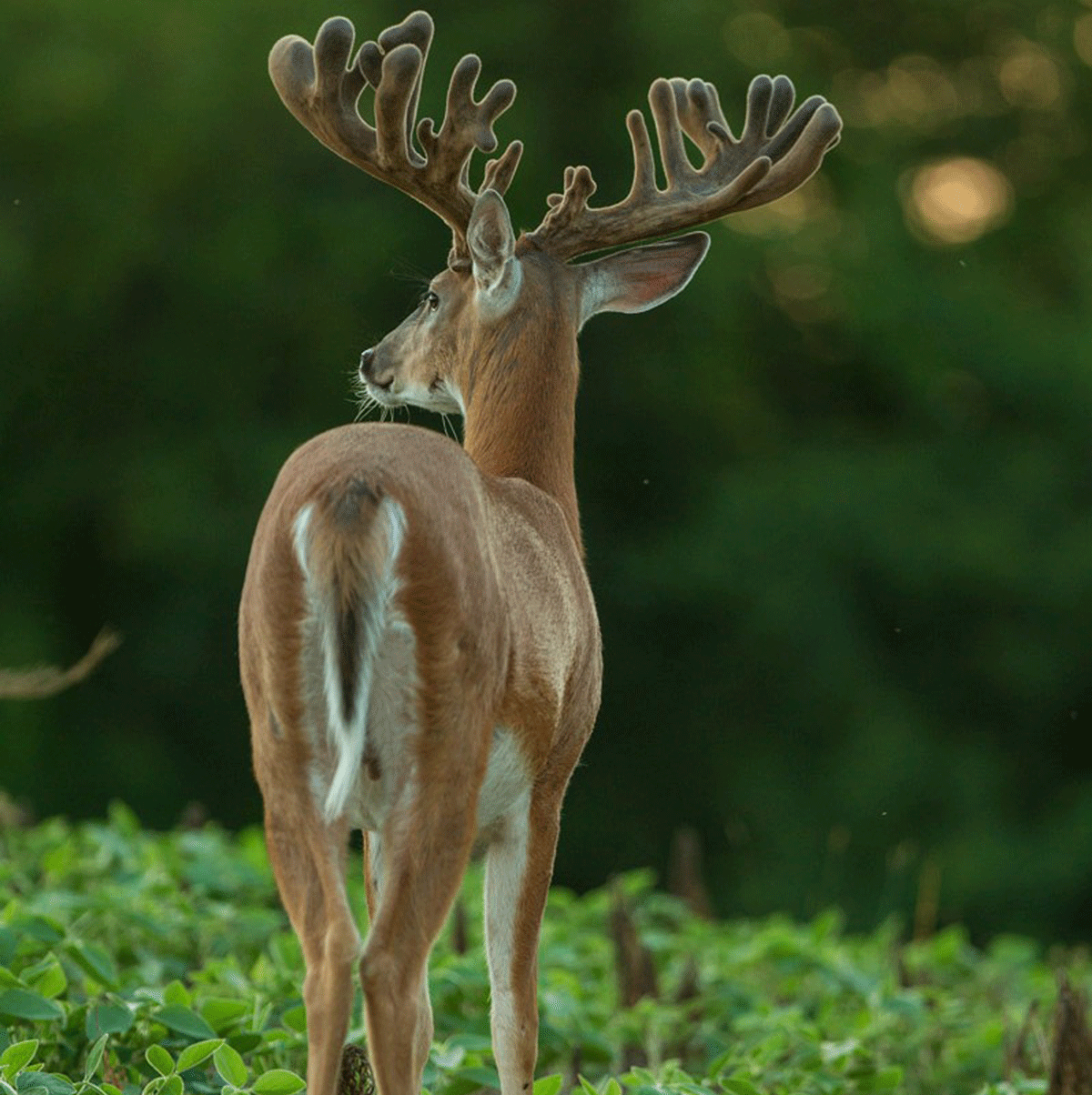 A massive, wide buck with many pionts