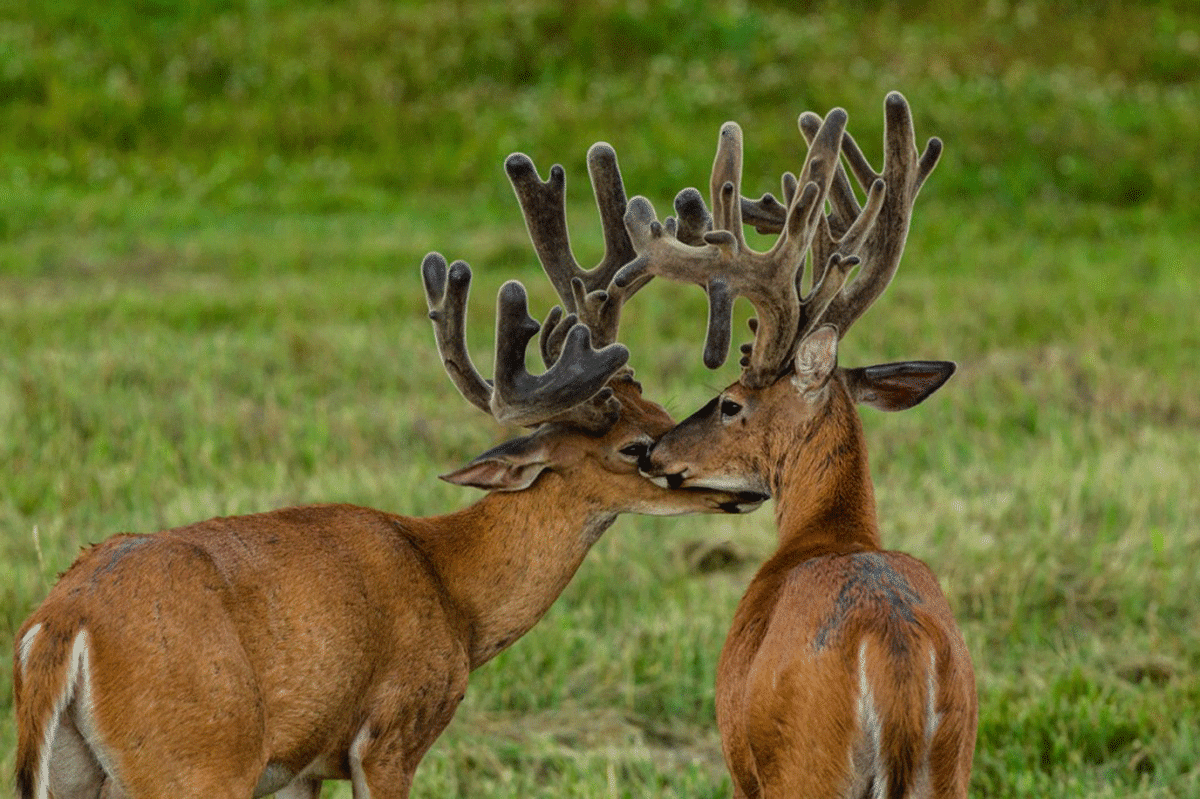 Two massive bucks gently touching their faces