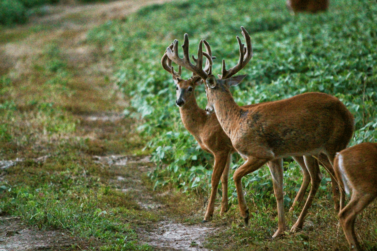 A young and mature buck crossing a tractor trail