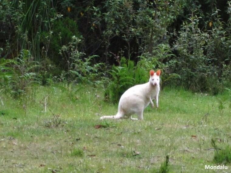 White Bennetts Wallaby - Bruny Island