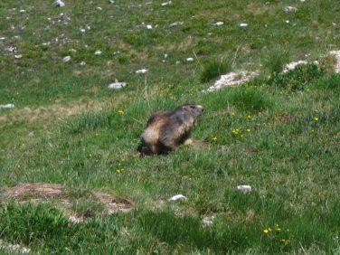 Marmottes au Mont Thabor