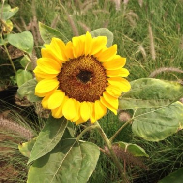 Bunga Matahari Sunflower