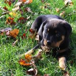 10 Pictures That You Will ONLY Get If You Own A Rottweiler…