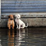 5 Frightening Pictures Of Dogs Fighting The Worst Floods In The World…