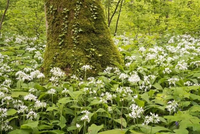 Blühender Bärlauch wächst bevorzugt an schattigen Waldstellen. Foto: juhumbert / fotolia
