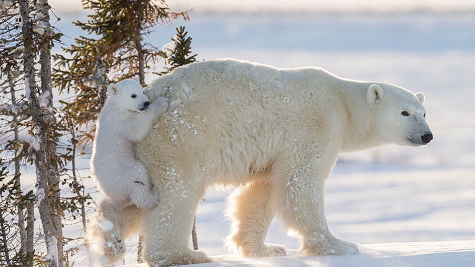 Baby Polar Bear Bums A Ride On Its Mother S Bare Bum