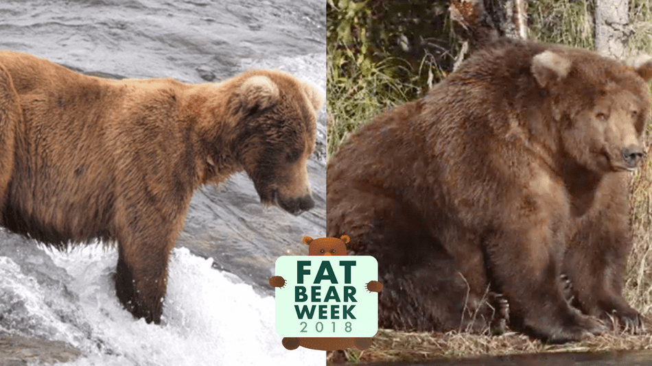 Image result for fat bear week beadnose