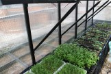 Farmers grow microgreens year-round in the greenhouse.