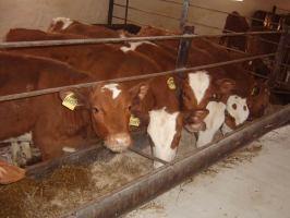 Бизнес-идея: Выращивание бычков