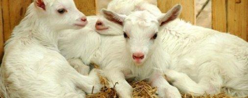 Бизнес-идея: Разведение коз