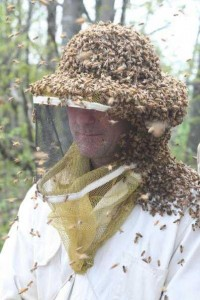 Honey bees swarming