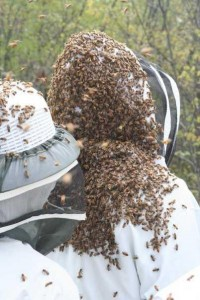 Honey bees a second swarm