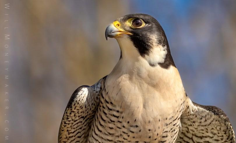 Lucy, Peregrine Falcon