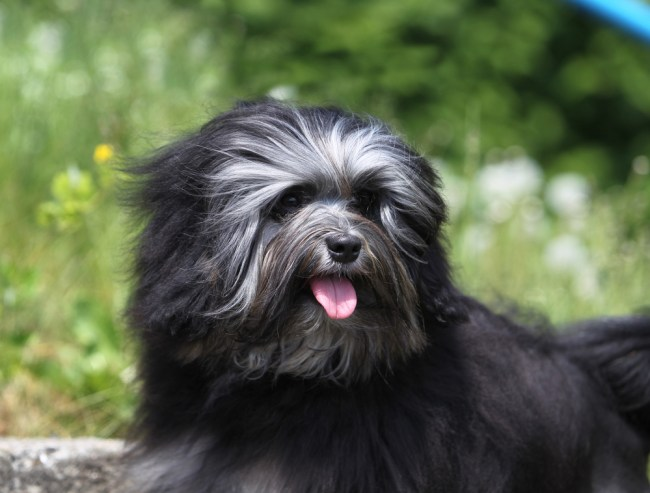 most expensive dog breeds lowchen