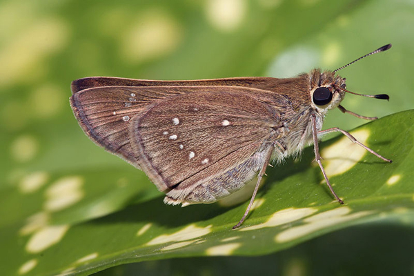 A skipper butterfly.  Photo by Muhammad Mahdi Karim and reproduced under the GNU Free Documentation License, Version 1.2.