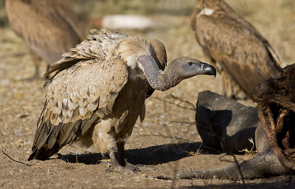 Cape vulture (Gyps coprotheres). Photo by Andre_Botha.