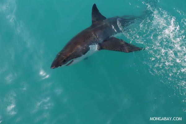 Gran Tiburón Blanco en Sudáfrica.