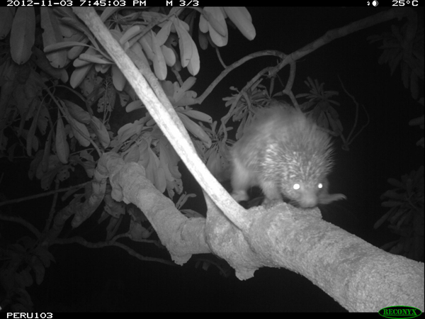 Dwarf porcupine (species yet to be determined). Photo courtesy of the Smithsonian Conservation Biology Institute.