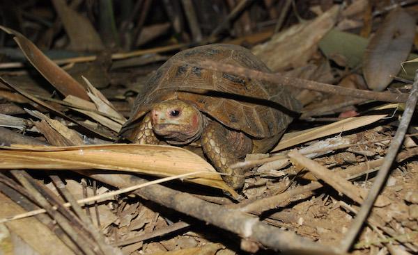 Uma tartaruga Travancore na serapilheira. Photo by A. Kanagavel.
