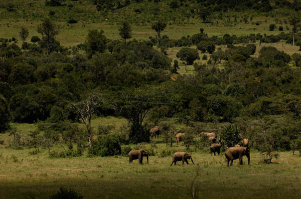 Elephants, such as this herd in Kenya, are important actors of change within forests. (Credit: Juan Pablo Moreiras / Fauna & Flora International)