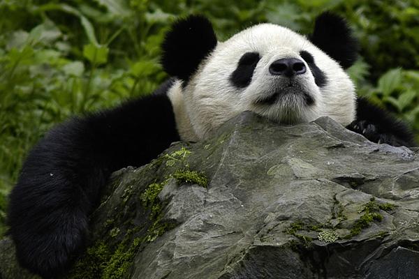 Giant panda at the Panda Breeding Centre in the Wolong Panda Reserve. Photo by:  © Bernard de Wetter / WWF.