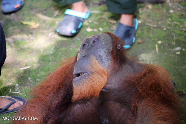 Male orangutan tranquilized for a health check up in Sumatra