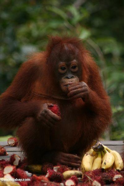 What Do Orangutans Eat Orangutan By Bianca And Bethan