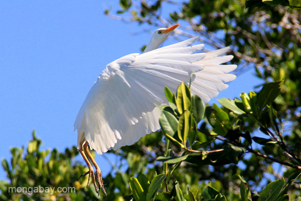 A cattle egret in mangrove trees in Estero Hondo Marine Sanctuary in the Dominican Republic. Photo by: Tiffany Roufs.
