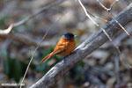 Female Malagasy Paradise Flycatcher (Terpsiphone mutata)