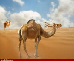 How the Camel Lost His Good Looks (1/2)