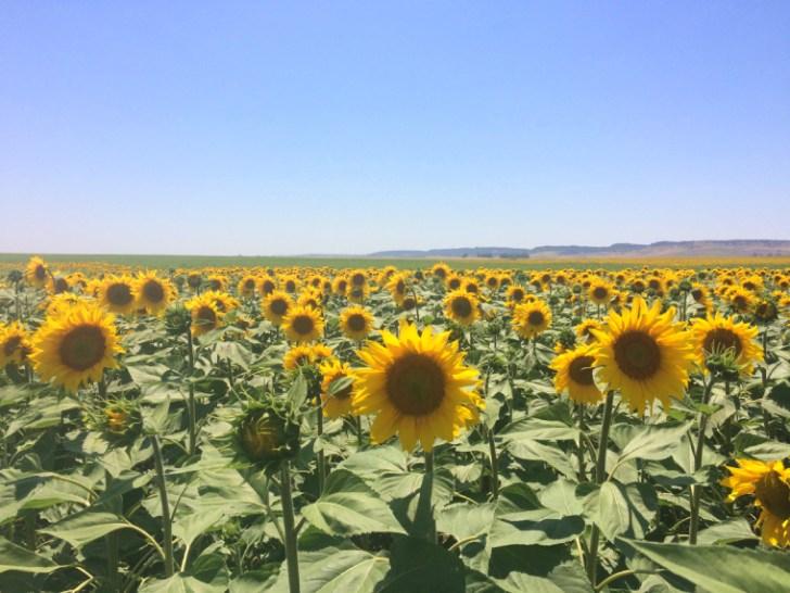 カルモナA-380のひまわり畑
