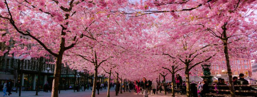 blossom-street