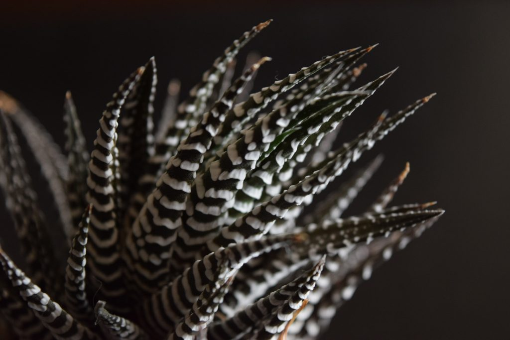 obsessed with succulents haworthia attenuata closeup