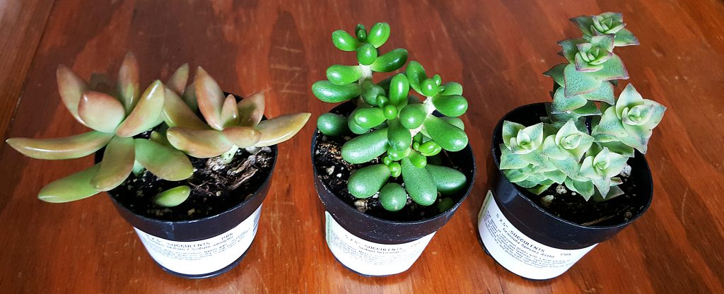 obsessed with succulents first trio sedum crassula